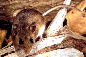 Deer Mouse Pic